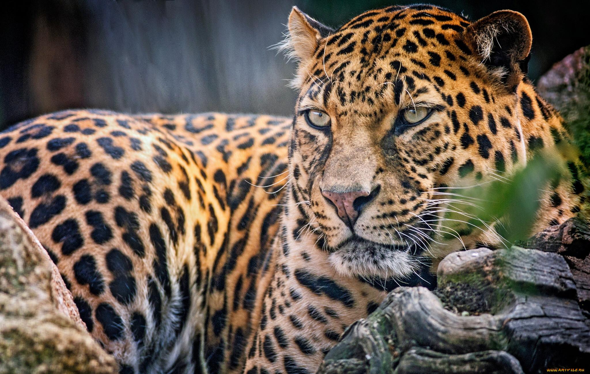 хотят светить фото самых красивых хищных животных периодически певца